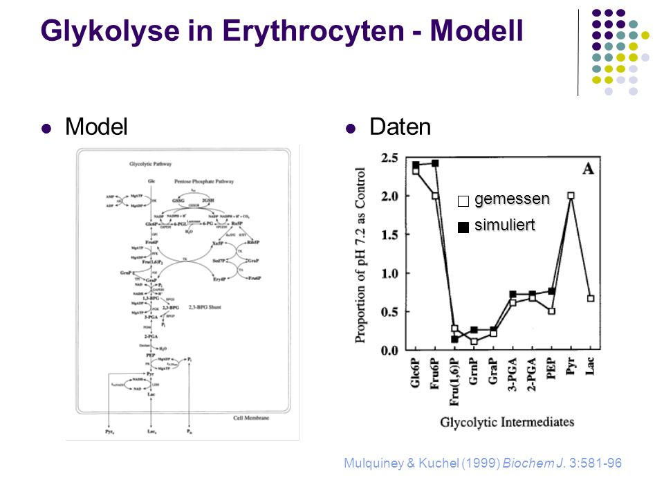 Glykolyse in Erythrocyten - Modell