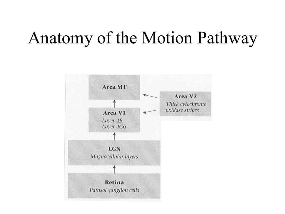 Anatomy of the Motion Pathway