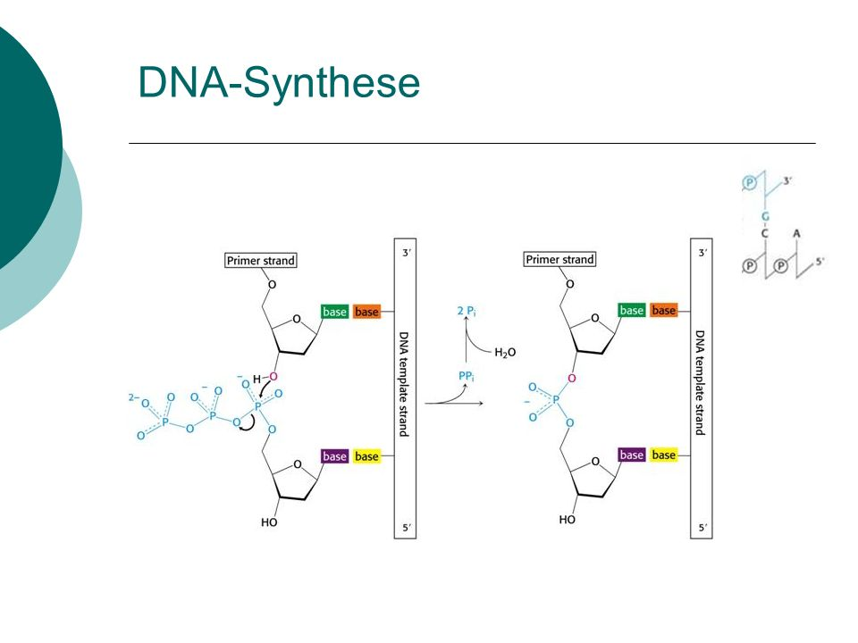DNA-Synthese
