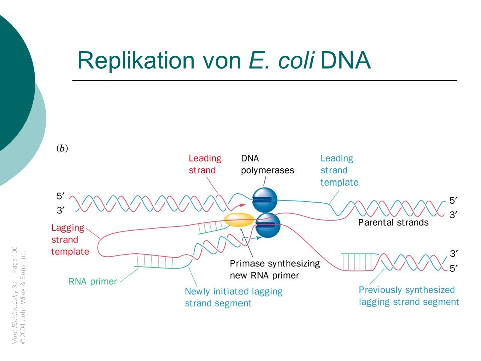 Replikation von E. coli DNA