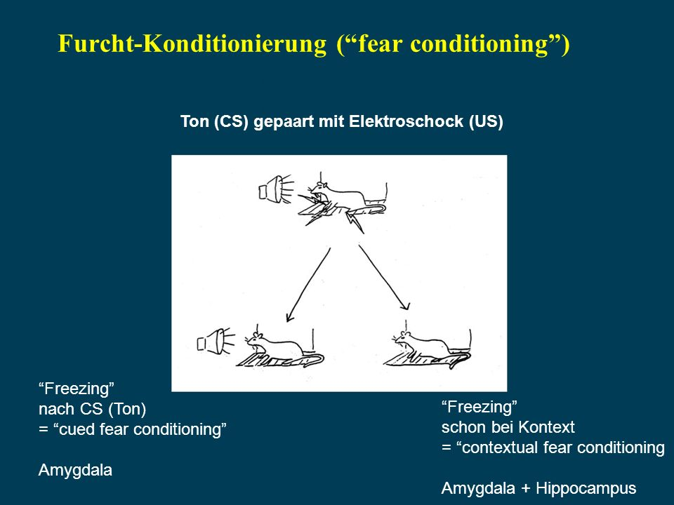 Furcht-Konditionierung ( fear conditioning )