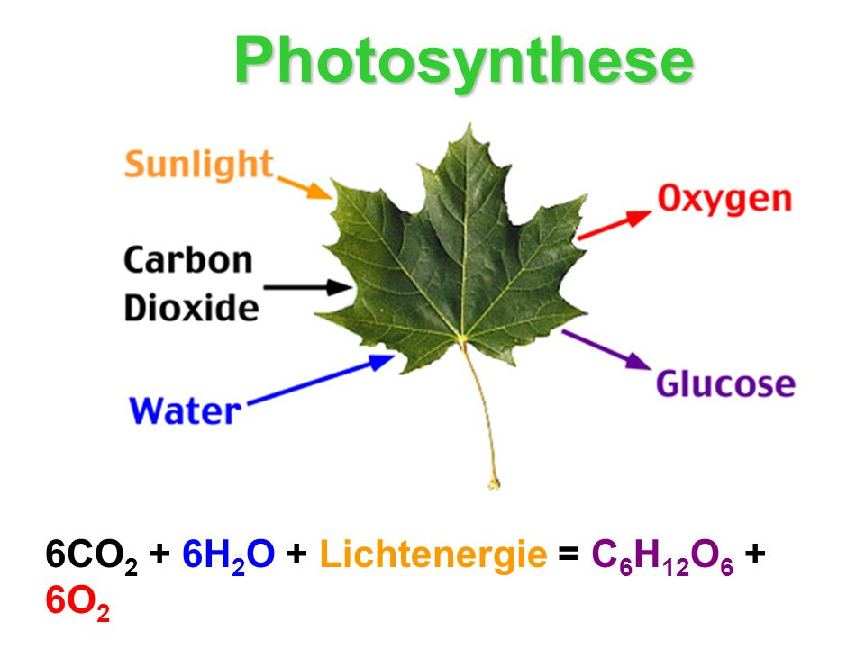 Photosynthese 6CO2 + 6H2O + Lichtenergie = C6H12O6 + 6O2