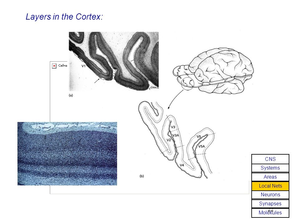 Layers in the Cortex: CNS Systems Areas Local Nets Neurons Synapses
