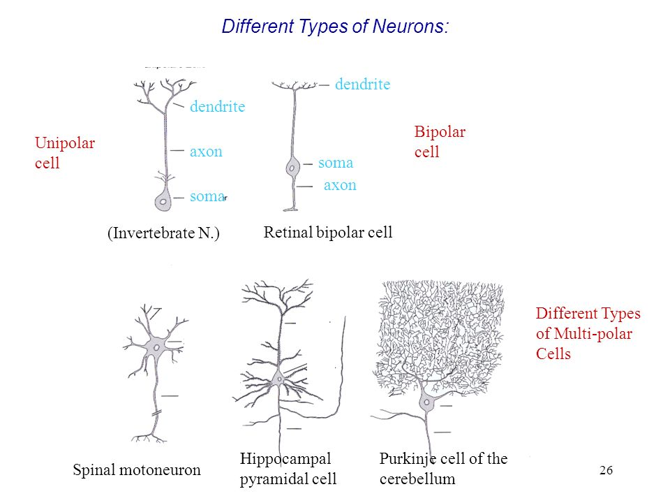 Different Types of Neurons: