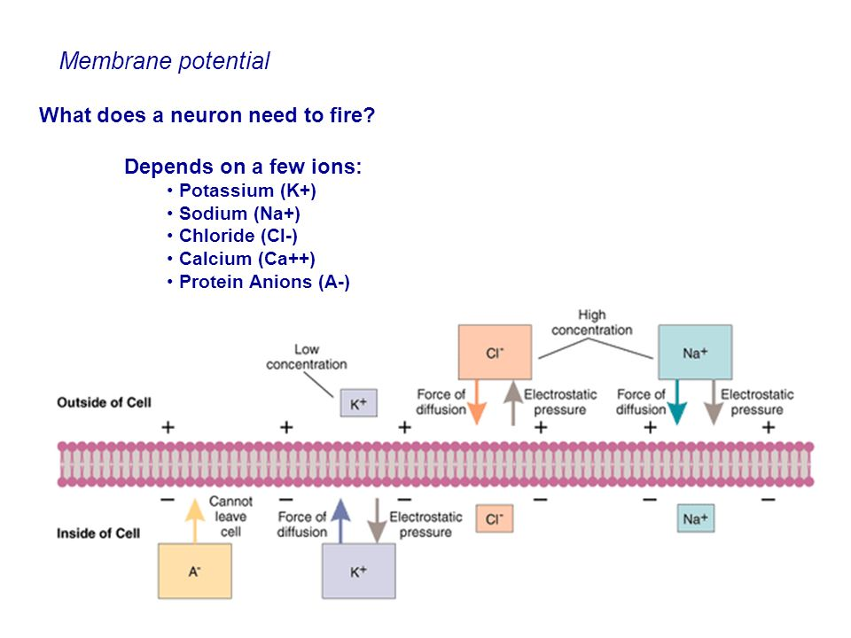 Membrane potential What does a neuron need to fire