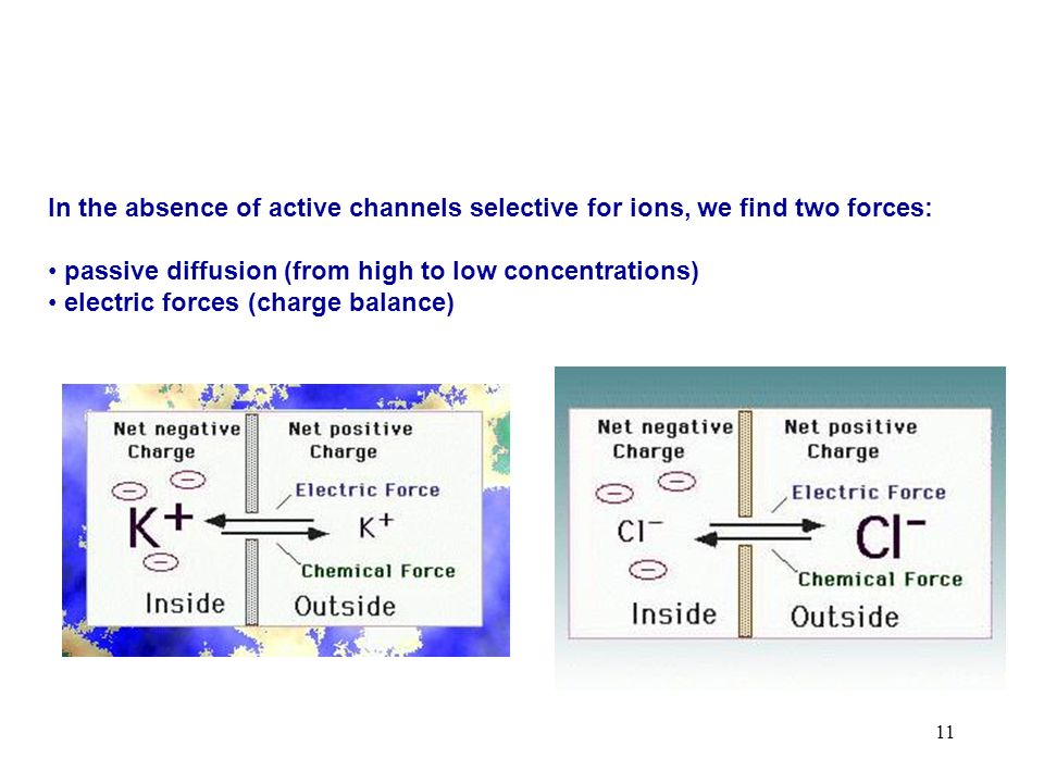 In the absence of active channels selective for ions, we find two forces: