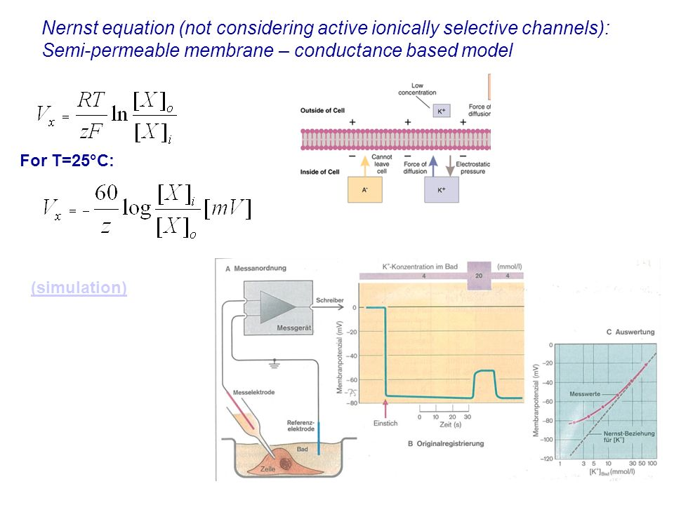 Nernst equation (not considering active ionically selective channels): Semi-permeable membrane – conductance based model