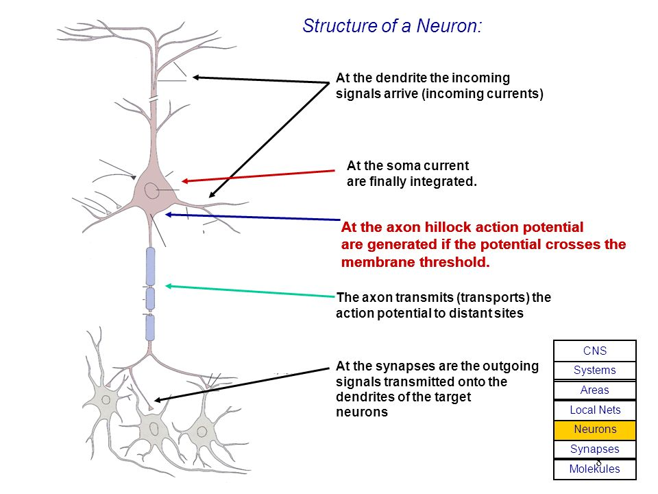 Structure of a Neuron: At the axon hillock action potential