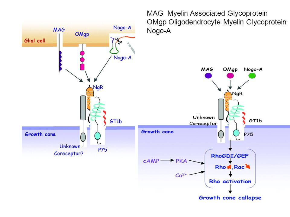 MAG Myelin Associated Glycoprotein