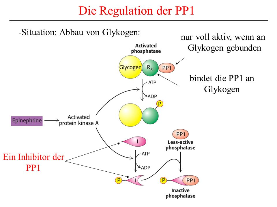 Die Regulation der PP1 -Situation: Abbau von Glykogen: