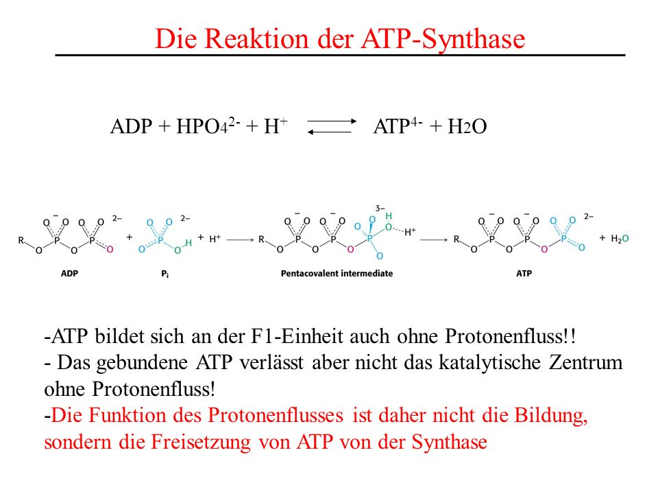 Die Reaktion der ATP-Synthase