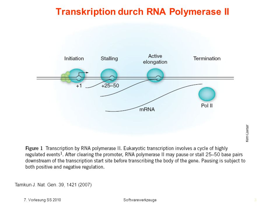Transkription durch RNA Polymerase II