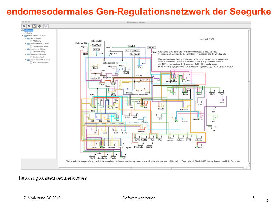 endomesodermales Gen-Regulationsnetzwerk der Seegurke