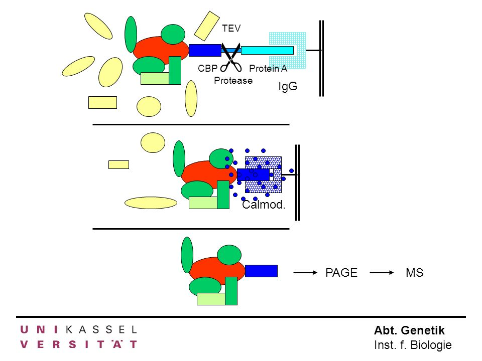 TEV IgG  Protease CBP Protein A Calmod. PAGE MS