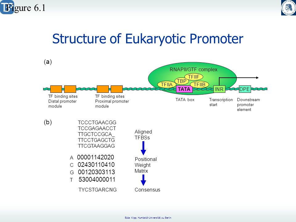 Structure of Eukaryotic Promoter