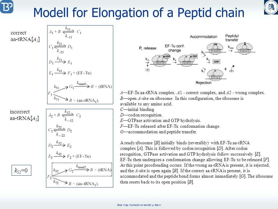 Modell for Elongation of a Peptid chain