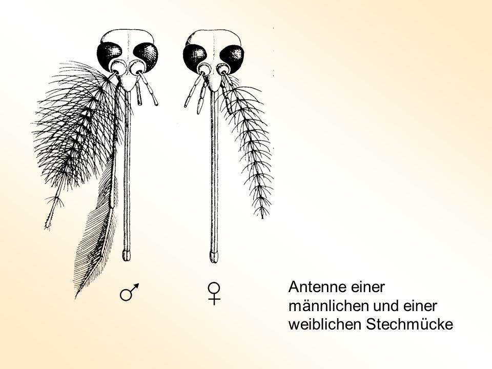 Gemütlich Anatomie Einer Mücke Galerie - Anatomie Von Menschlichen ...