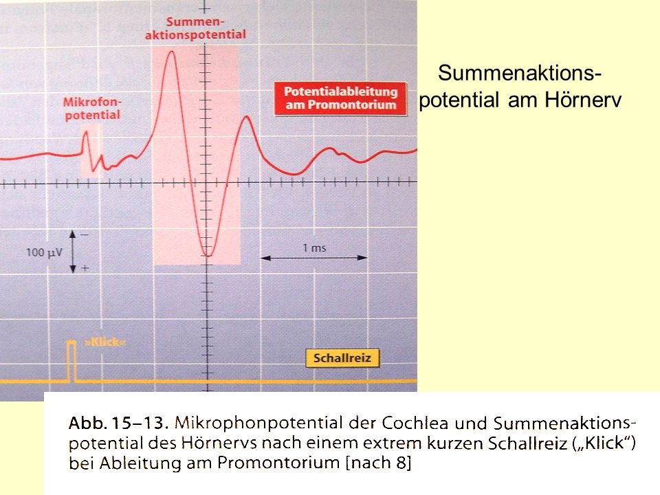 Summenaktions-potential am Hörnerv
