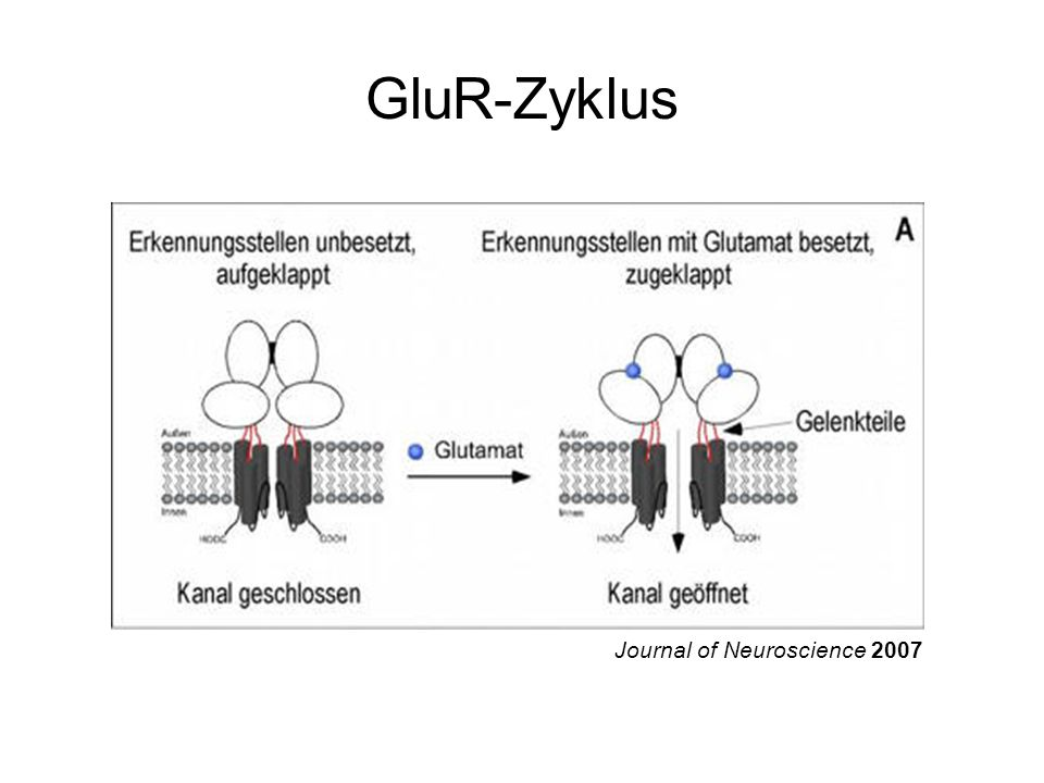 GluR-Zyklus Journal of Neuroscience 2007