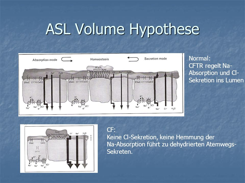 ASL Volume Hypothese Normal: CFTR regelt Na- Absorption und Cl-