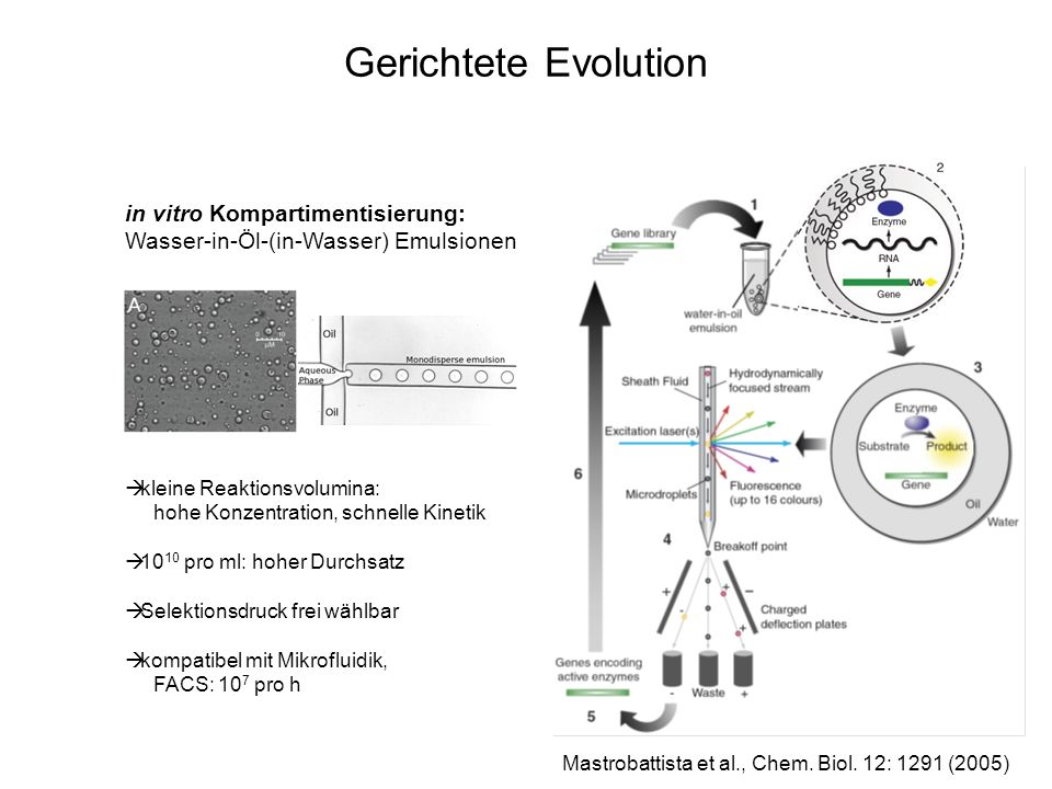Gerichtete Evolution in vitro Kompartimentisierung: