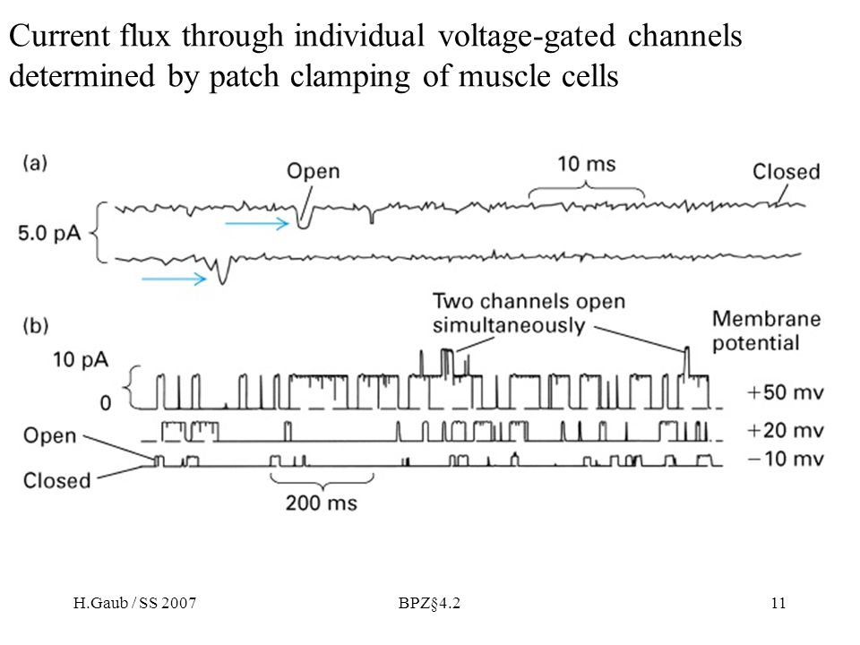 Current flux through individual voltage-gated channels determined by patch clamping of muscle cells