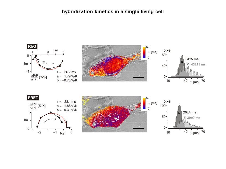 hybridization kinetics in a single living cell