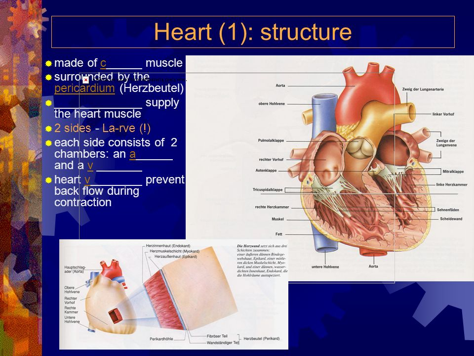 Heart (1): structure made of c muscle