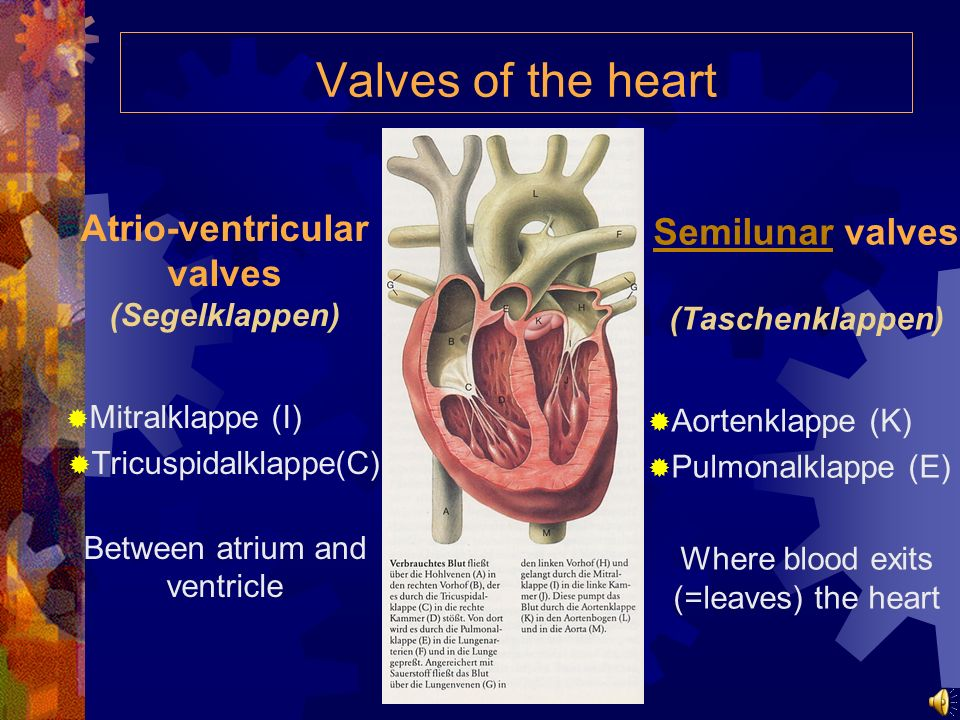 Valves of the heart Atrio-ventricular valves (Segelklappen)