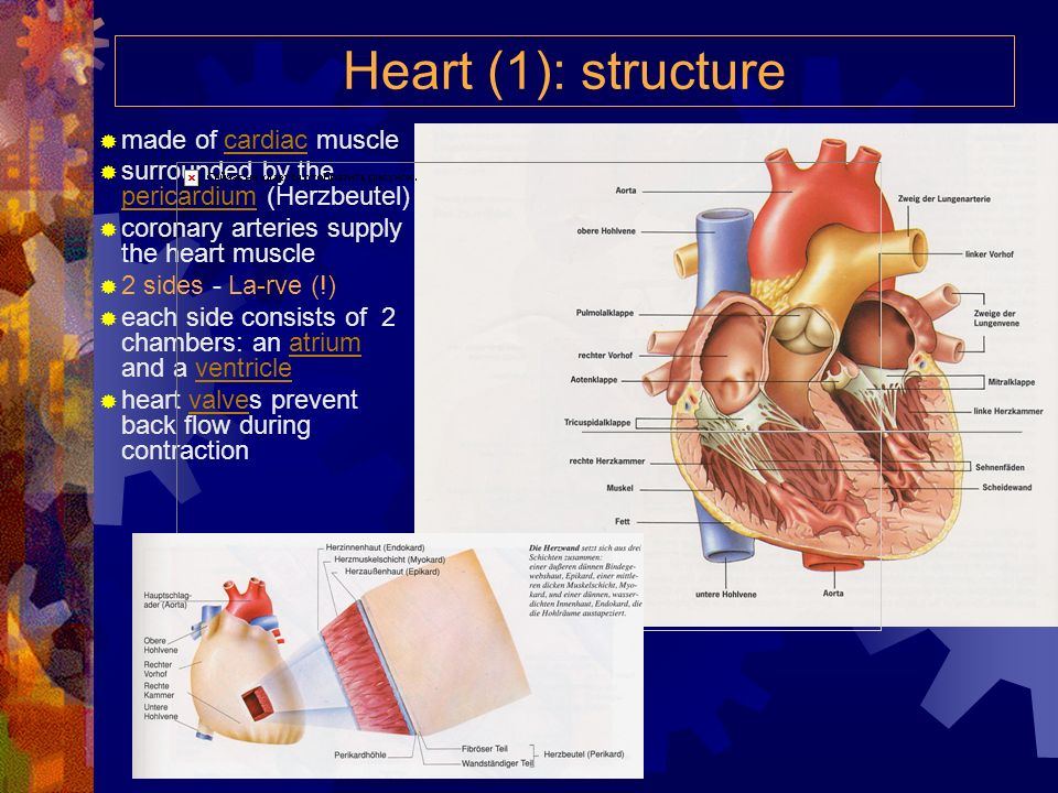 Heart (1): structure made of cardiac muscle
