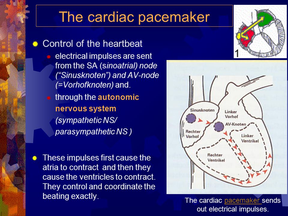 The cardiac pacemaker sends out electrical impulses.