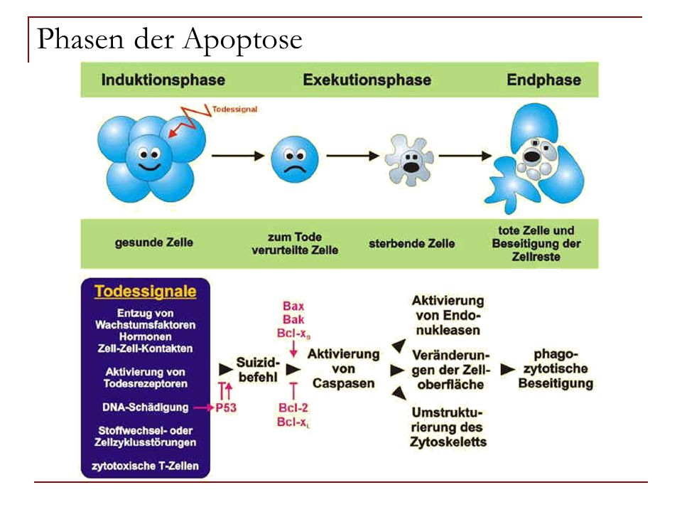 Phasen der Apoptose