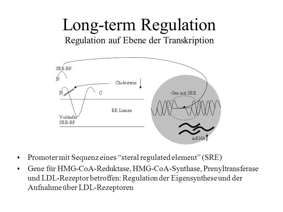 Long-term Regulation Regulation auf Ebene der Transkription