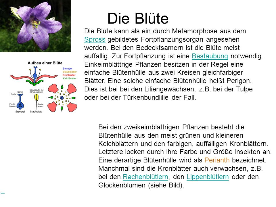 Die Samenpflanzen lassen sich in zwei Unterabteilungen einteilen ...