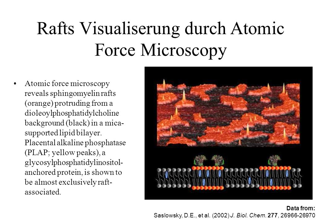 Rafts Visualiserung durch Atomic Force Microscopy