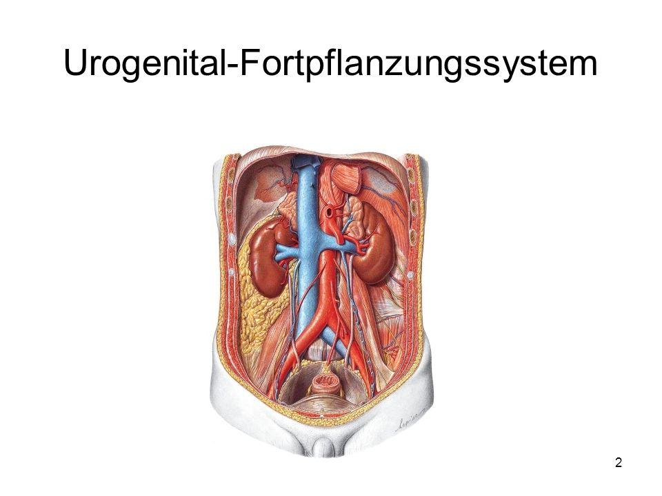 Urogenitalsystem-Harnwegssystem - ppt video online herunterladen