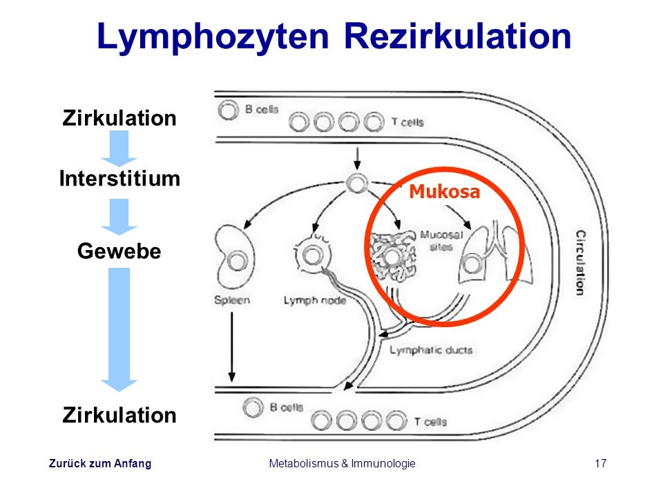 Lymphozyten Rezirkulation