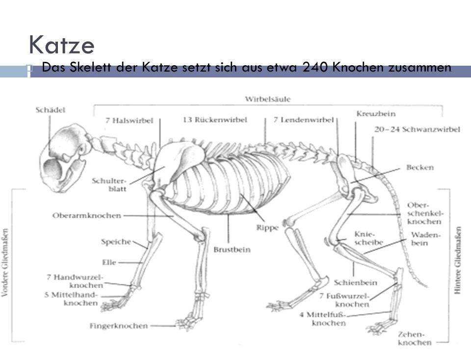 Atemberaubend Katze Anatomie Skelett Zeitgenössisch - Anatomie Ideen ...