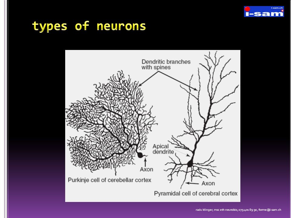 types of neurons radu klinger, msc eth neurobio, 079 401 89 90, forme@i-sam.ch
