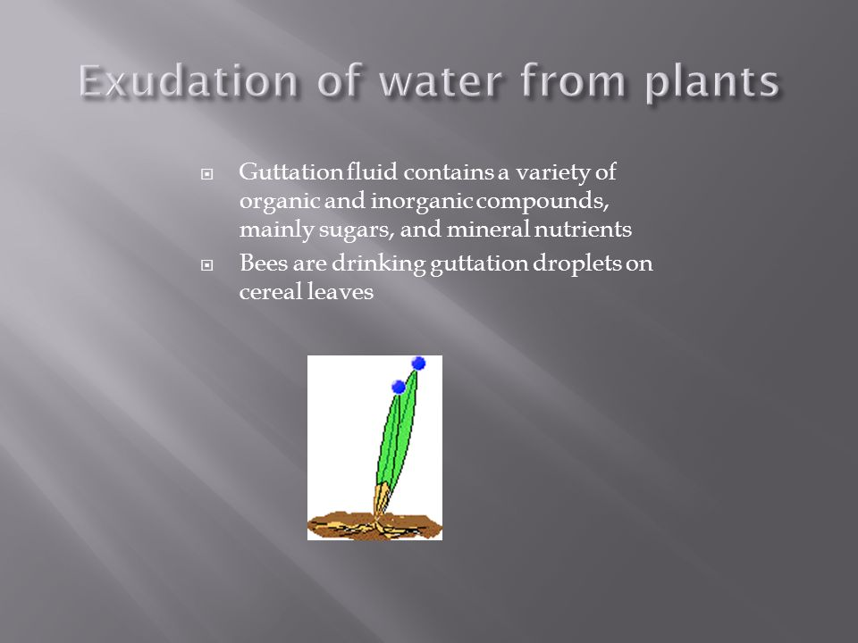 Exudation of water from plants