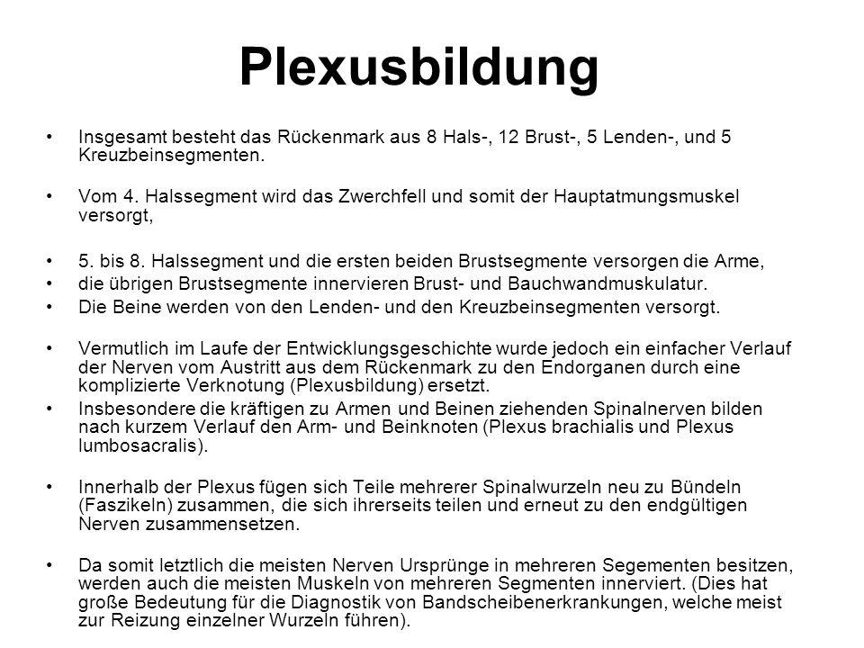 Plexusbildung und periphere Nerven - ppt video online herunterladen
