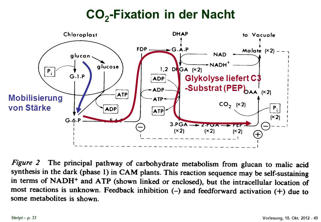 CO2-Fixation in der Nacht