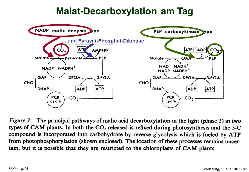 Malat-Decarboxylation am Tag