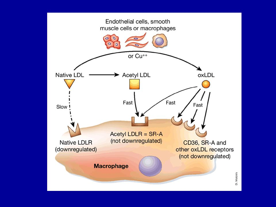 Macrophages cannot be converted to foam cells by native LDL because uptake is too slow and because, like other cells, the macrophage down regulates its LDL receptors when in the presence of native LDL.