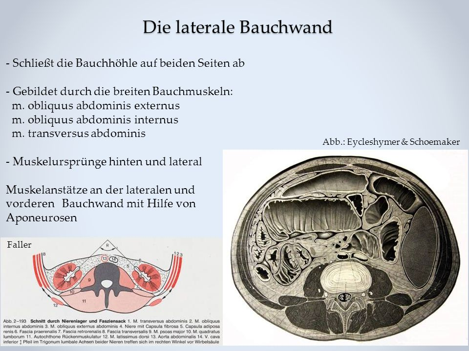 Struktur der Bauchwand - Muskeln und Faszien - - ppt video online ...