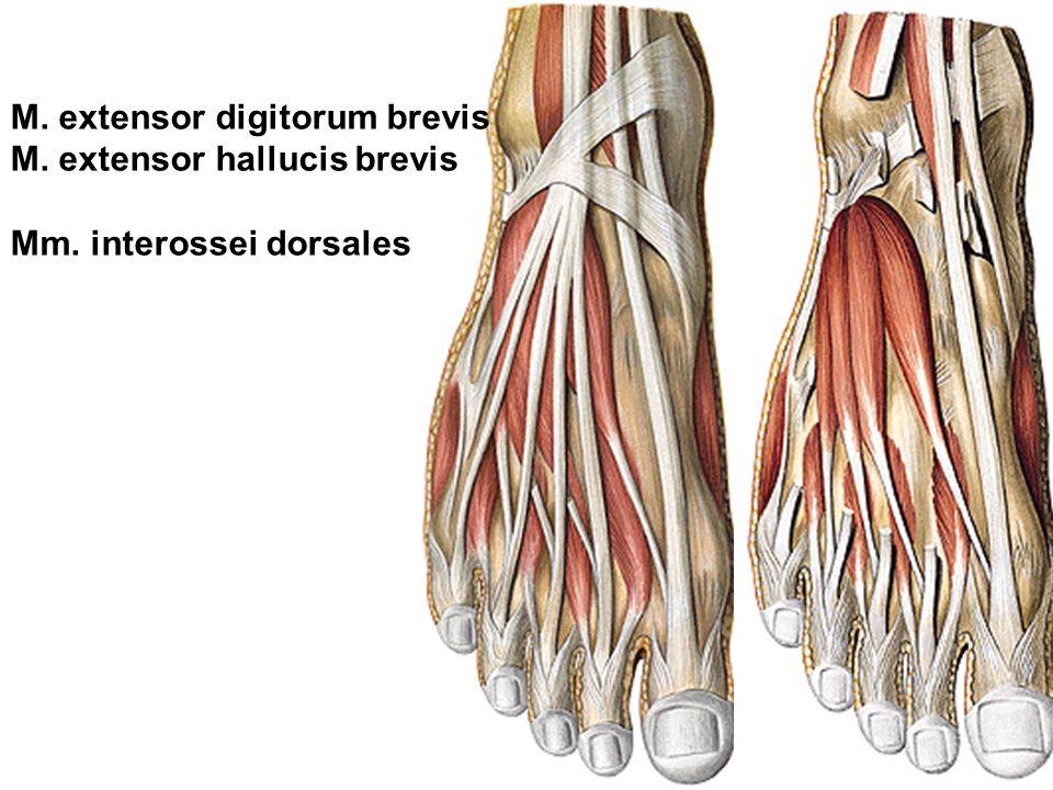 Regional anatomy of the lower limb - ppt video online herunterladen