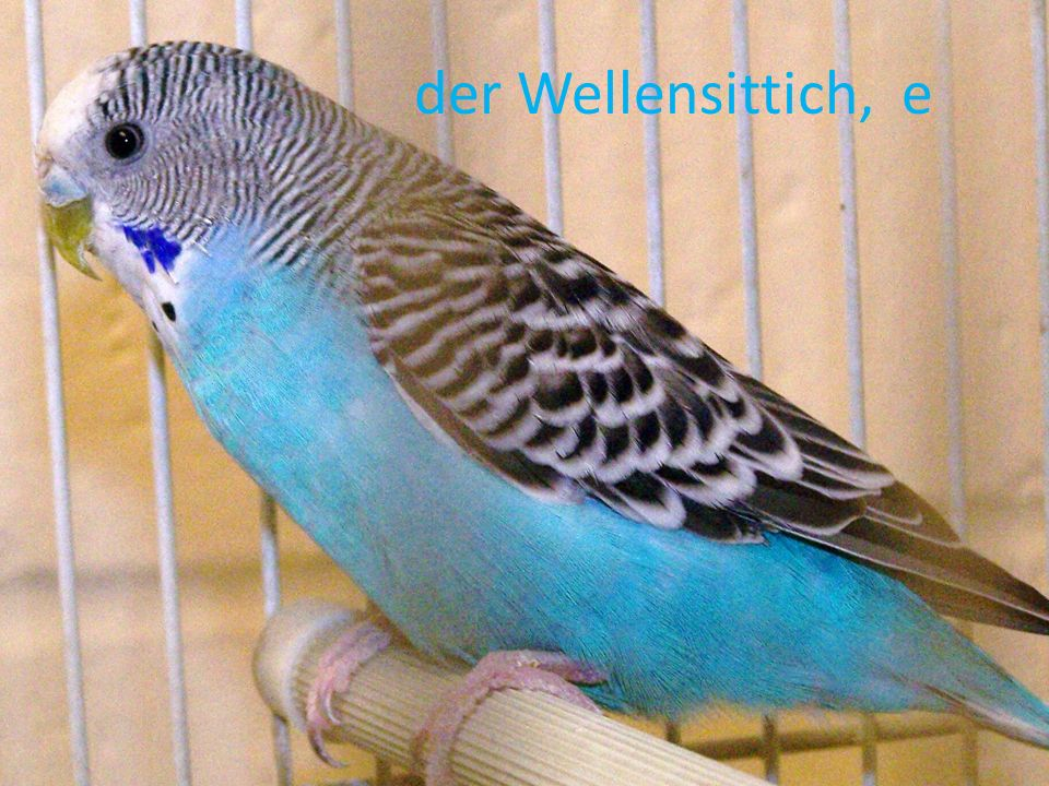 der Wellensittich, e