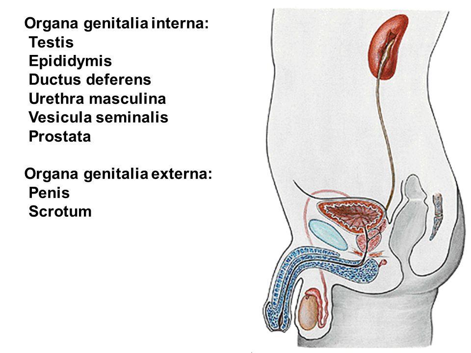 Beste Menschliche Genitalanatomie Galerie - Menschliche Anatomie ...