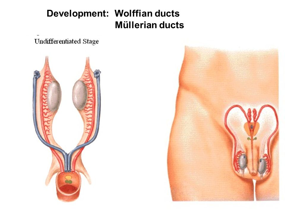 Development: Wolffian ducts