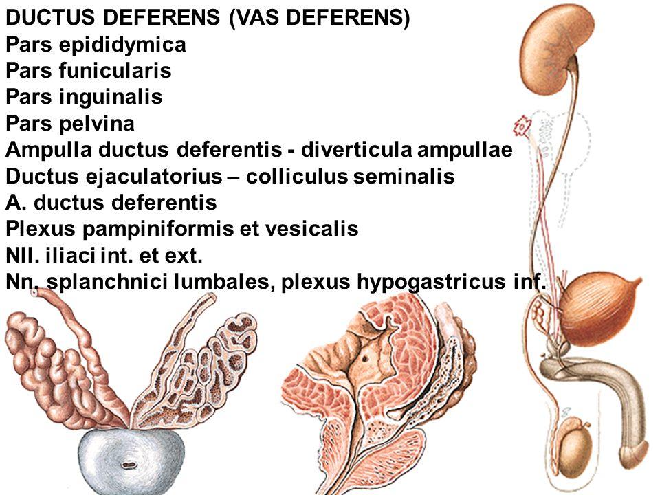 ampulla of vas deferens - 960×720